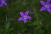 Purple flowers in Piatra Craiului