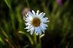 Flower in Piatra Craiului
