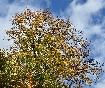 Arbore cu frunze ruginii de toamna
