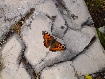 Fluture in Piatra Craiului