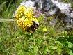 Bondar dupa nectar pe o floare galbena