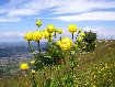 Flori galbene in saua Magura