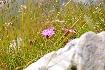 Garofita in Piatra Craiului