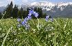 Flori Albastre in Piatra Craiului