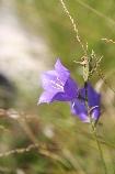 Flower bells in Piatra Craiului