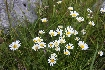 White flowers in Piatra Craiului