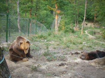 Brown bears at Bear Sanctuary Zarnesti Romania